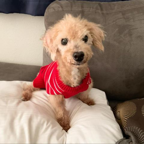 Dog For Adoption Nacho A Poodle Mix In Austin Tx Petfinder