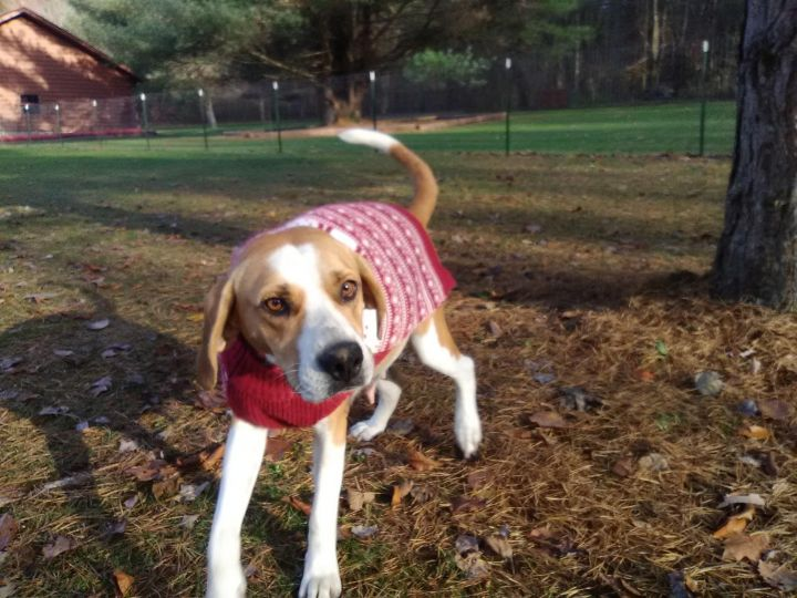 Daisy, an adopted Hound & Retriever Mix in Kittanning, PA
