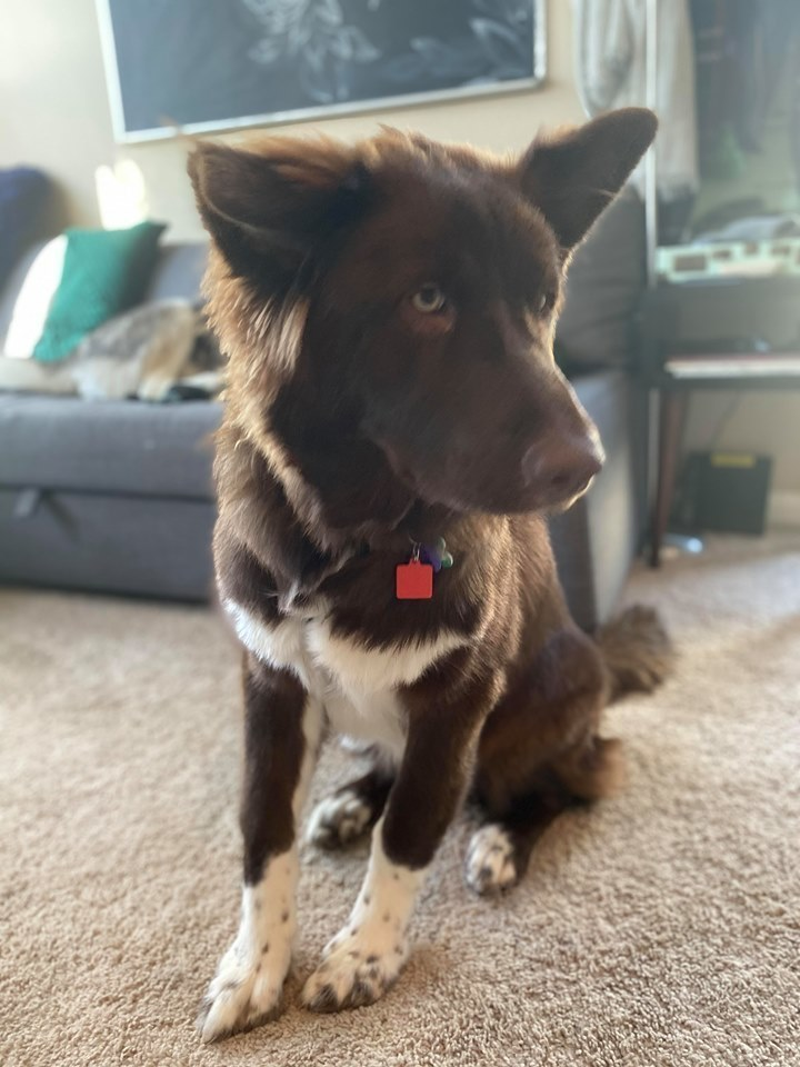 Kimber, an adoptable Shepherd & Border Collie Mix in New Albany, OH