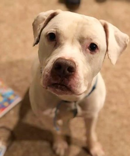 CAIN!, an adoptable Pit Bull Terrier Mix in Philadelphia, PA