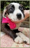 Lila Puppy - Pending!! Available on Jan. 19th