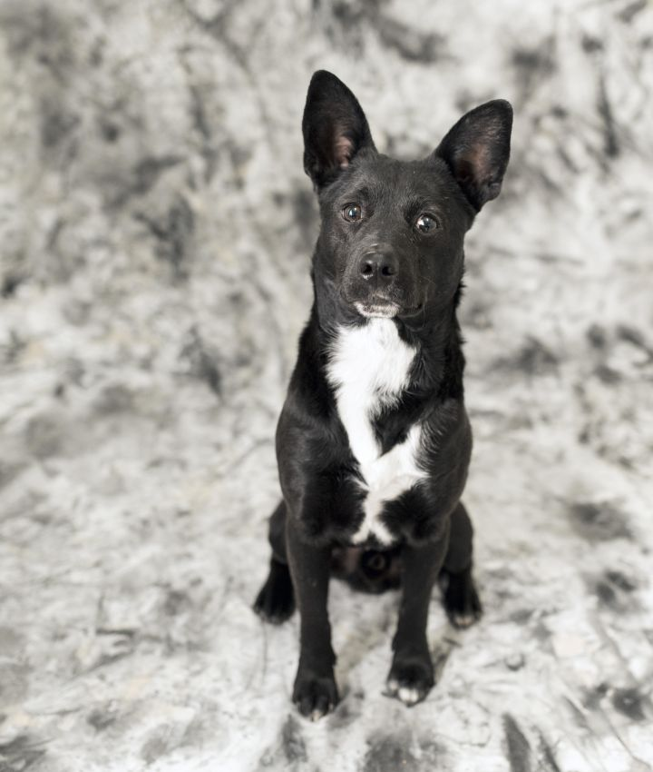 Starman, an adopted Feist Mix in Cincinnati, OH