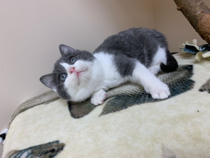 Justin Timerlake, an adopted Domestic Medium Hair in Madison, WI