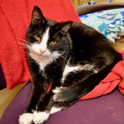 Oreo, an adopted Domestic Short Hair in Madison, WI
