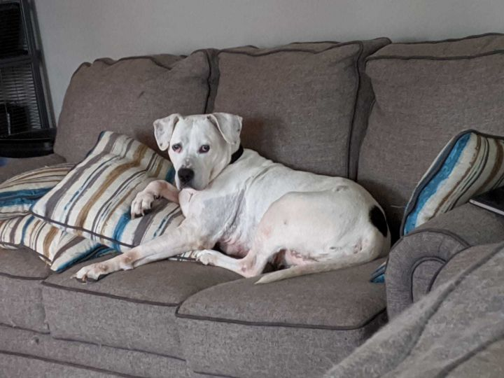 Maya Lumps, an adopted American Bulldog Mix in Elgin, IL