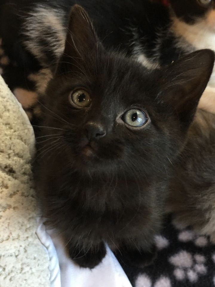 Noel, an adopted Domestic Short Hair in Madison, WI