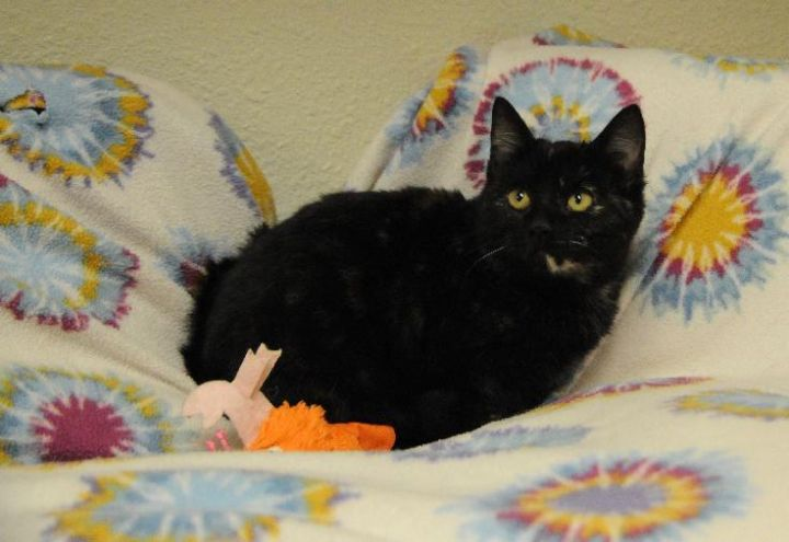 Hershey, an adoptable Tortoiseshell in Jamestown, CA