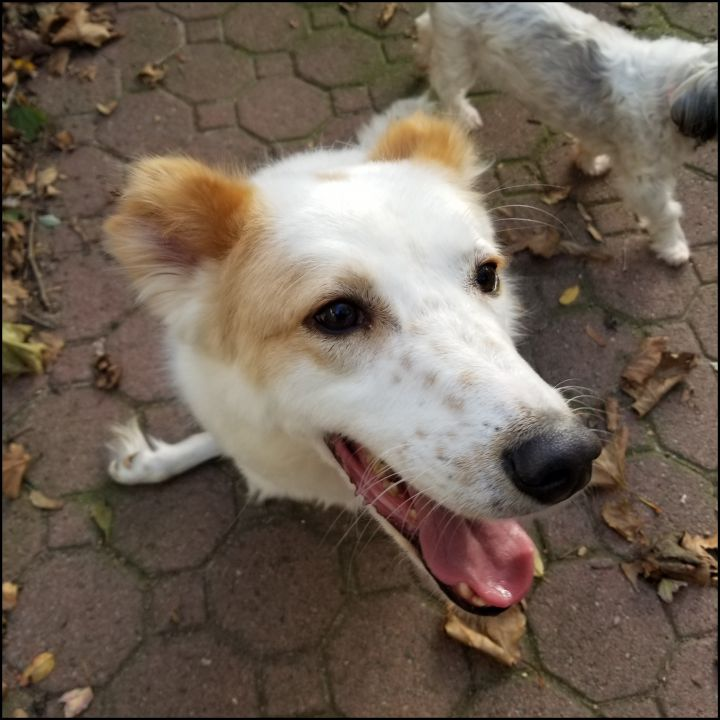 Casper, an adoptable Canaan Dog in Bayside, NY