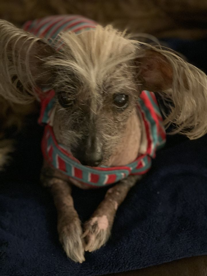 Ozzy Osborne, an adoptable Chinese Crested Dog in Houston, TX