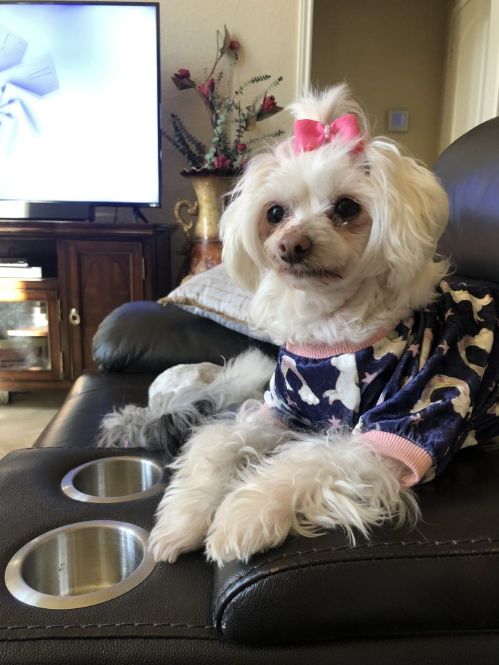 Maggie Moo, an adoptable Chinese Crested Dog in Houston, TX