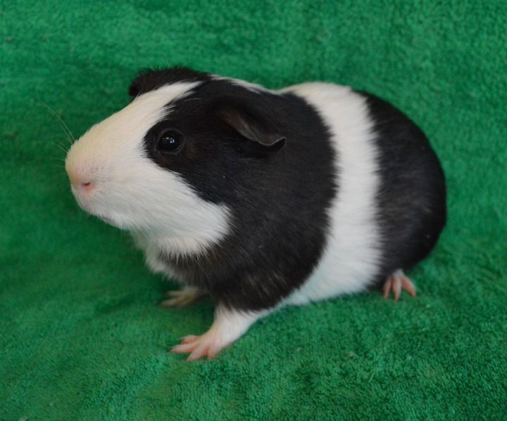 Twitch, an adoptable Guinea Pig in Onalaska, WI