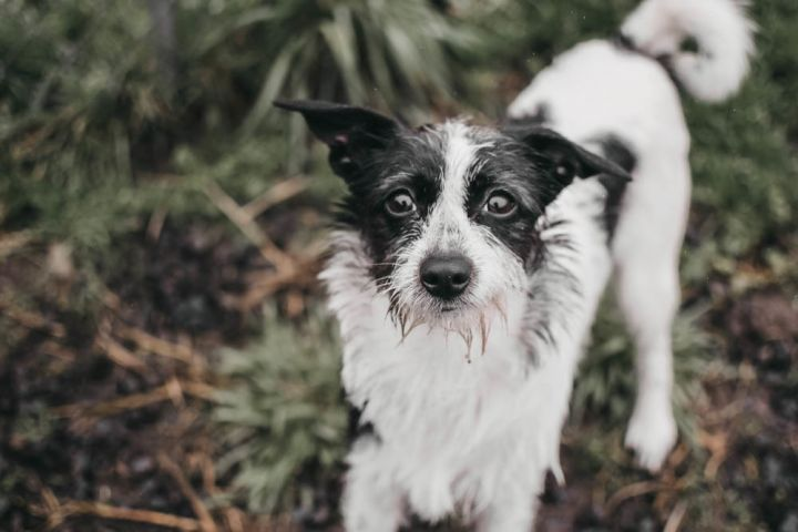 Cleo, an adopted Terrier Mix in Longview, WA