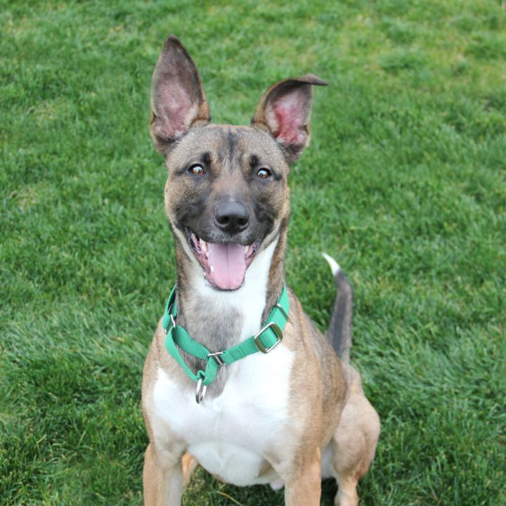 Kingsley, an adoptable Shepherd & Greyhound Mix in Clovis, CA