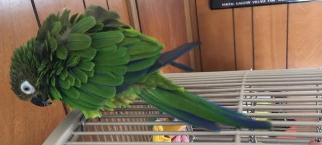 Scriblet, an adoptable Conure in North Babylon, NY