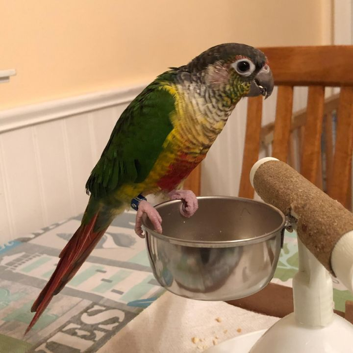 Perri, an adopted Conure in North Babylon, NY