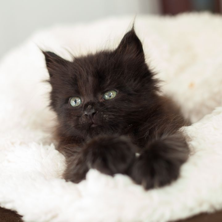 Kodiak, an adopted Domestic Medium Hair & Persian Mix in Ponte Vedra, FL
