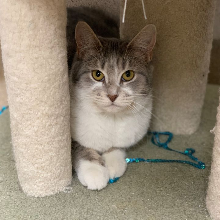 Elly, an adoptable Domestic Short Hair in Naperville, IL