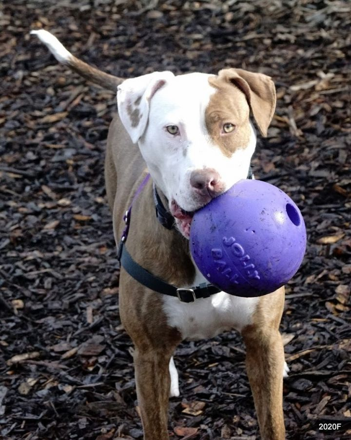 Mia, an adoptable Hound & Pit Bull Terrier Mix in Bellingham, WA