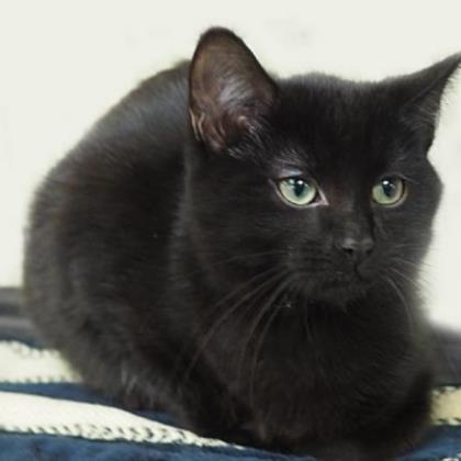 Oliver, an adoptable Domestic Short Hair in Verona, WI