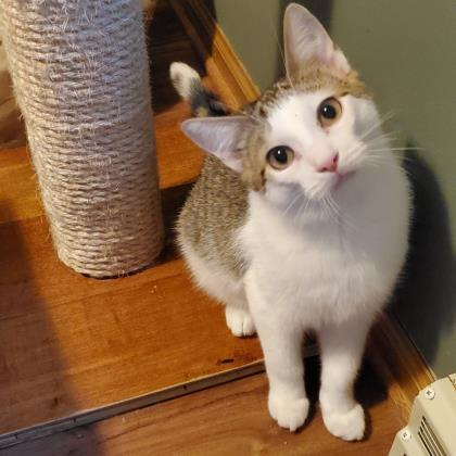 Grady, an adoptable Domestic Short Hair in Verona, WI