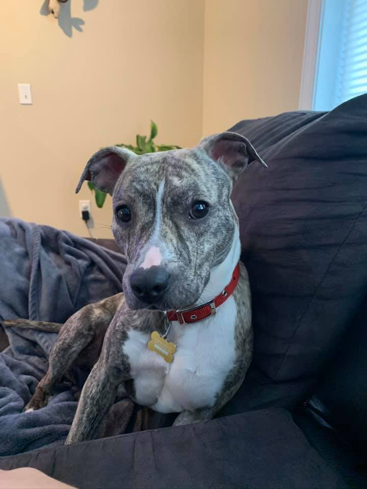 Lena, an adopted Staffordshire Bull Terrier in Dillsburg, PA