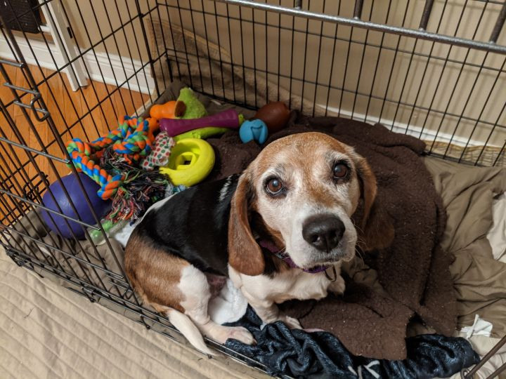 Cass, an adoptable Beagle in Chicago, IL