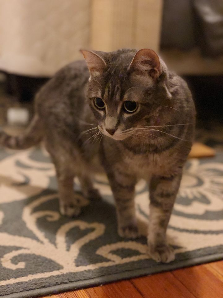 Missy, an adopted Domestic Short Hair in Oak Forest, IL