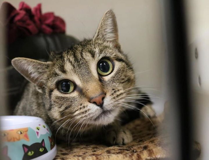 Merrill, an adopted Tabby in Danbury, CT