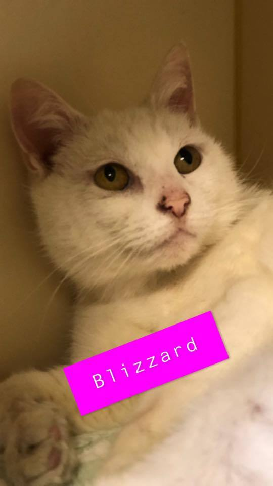 Blizzard - chatty!, an adoptable Domestic Short Hair in Myerstown, PA