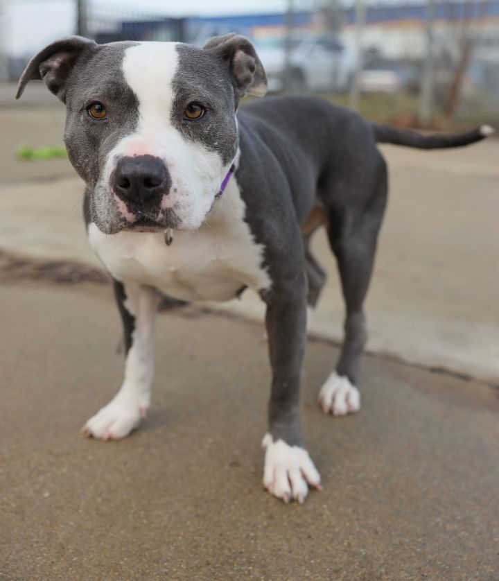 Liberty, an adoptable Pit Bull Terrier Mix in Naperville, IL