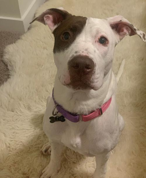 Ellie, an adoptable Pit Bull Terrier Mix in Dallas, GA