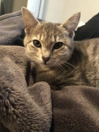 Evie, an adoptable Tabby Mix in Springfield, MO