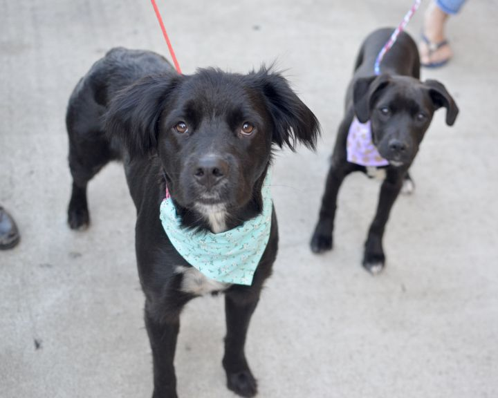 Evie, an adopted Spaniel & Labrador Retriever Mix in Santa Ana, CA
