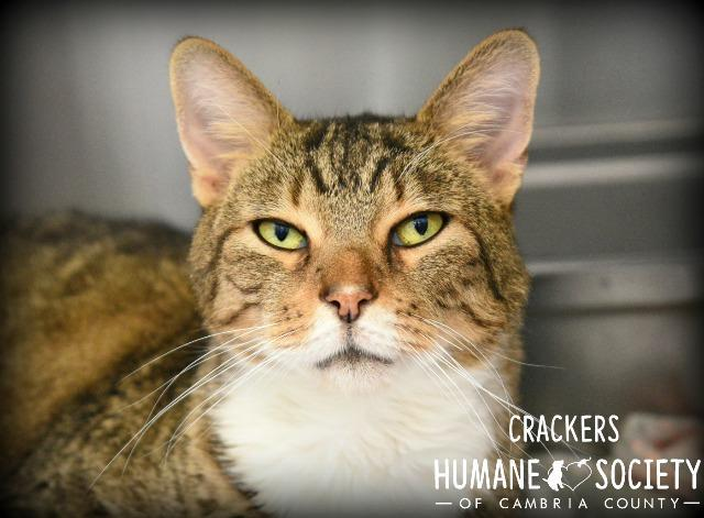 Crackers, an adoptable Domestic Short Hair in Johnstown, PA