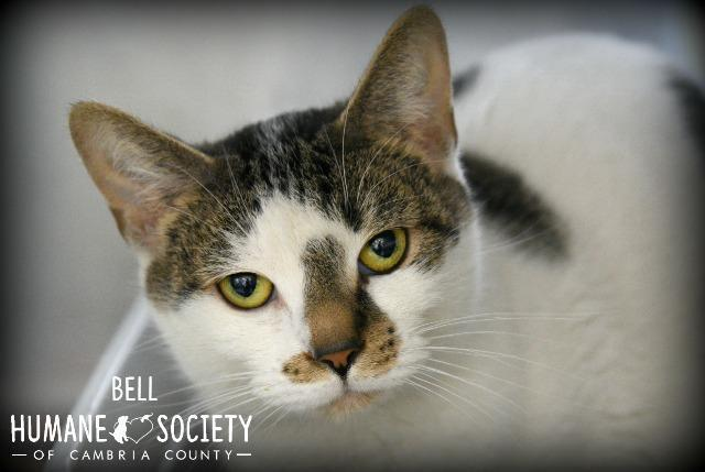 Bell, an adoptable Domestic Short Hair in Johnstown, PA