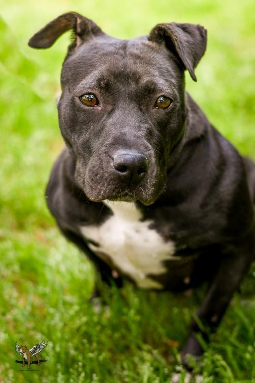 Merry, an adoptable Pit Bull Terrier in Dallas, GA