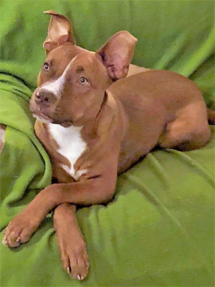 Chevelle, an adoptable Mixed Breed in Northwood, NH