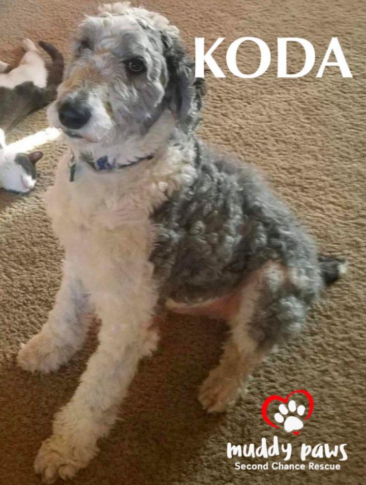 Dog For Adoption Koda Courtesy Post An Old English
