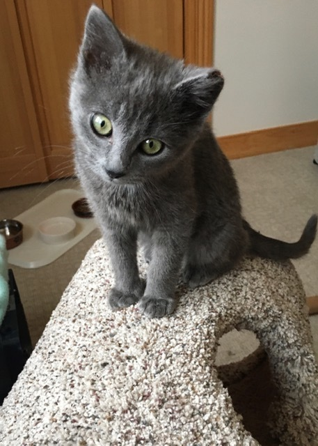 Schnitzel, an adopted Domestic Short Hair in Jackson, WY