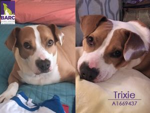 Pretty girl Trixie is in a foster home Email BARCFostergmailcom to meet her