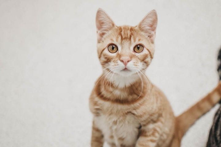 Mango Spice, an adopted Domestic Short Hair Mix in Longview, WA