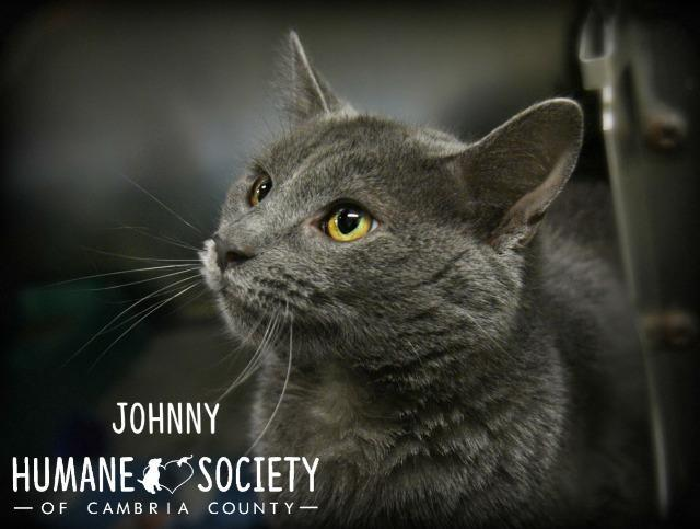 Johnny, an adoptable Domestic Short Hair in Johnstown, PA
