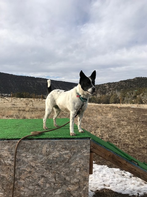 Zoey, an adopted Australian Cattle Dog / Blue Heeler & Rat Terrier Mix in Ridgway, CO