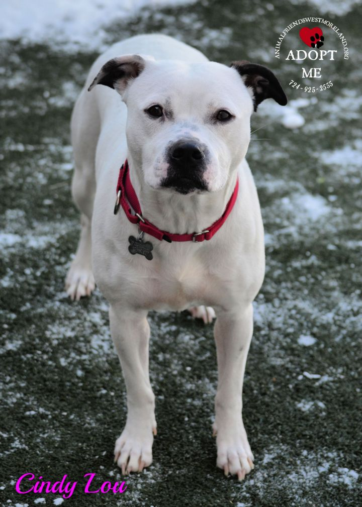 Cindy Lou, an adoptable Terrier Mix in Youngwood, PA