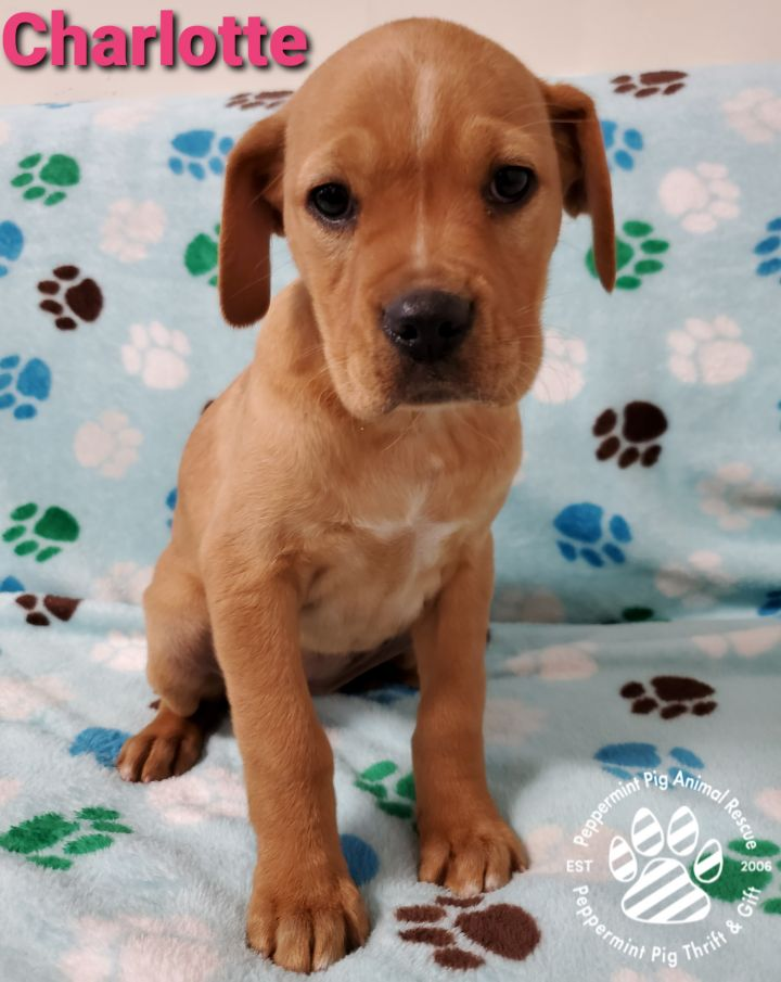 Charlotte ADOPTION PENDING, an adopted Boxer & Golden Retriever Mix in Cincinnati, OH