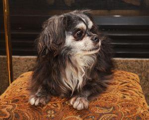 Beckham Barkley Chihuahua Dog