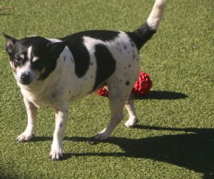 geraldine is approx 8 yrs old and 14 lbs she is a sweet little girl but would prefer to be