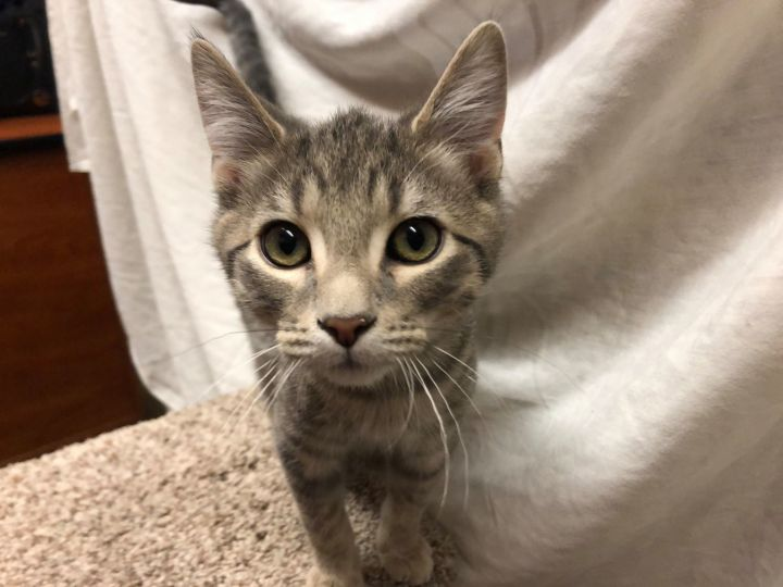 Yankee, an adoptable Domestic Short Hair in Manhattan, KS