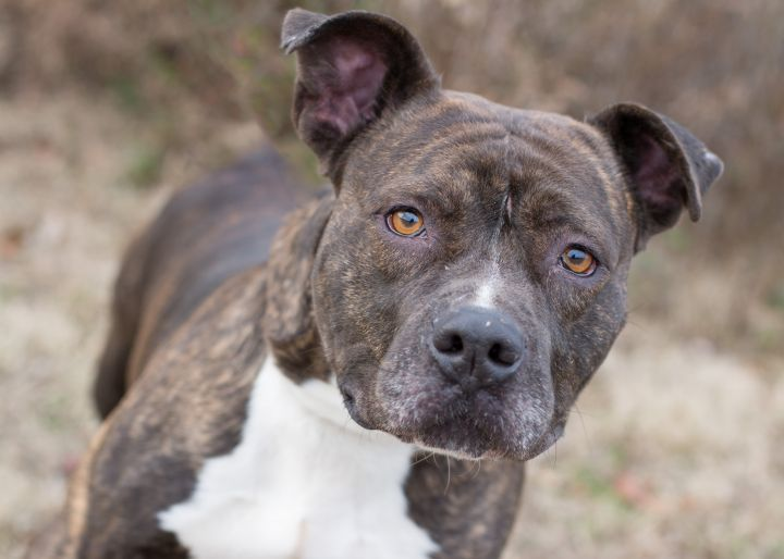 Spunky, an adoptable Pit Bull Terrier Mix in Cape Girardeau, MO