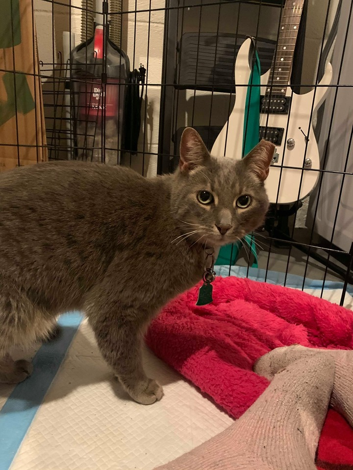 Sterling, an adoptable Domestic Short Hair in Rochester, NY